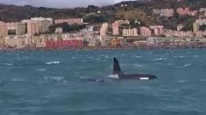 Orche a Genova, situazione drammatica: Il piccolo forse è morto ...
