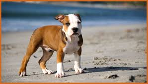 cute pitbull wallpapers on wallpaperplay