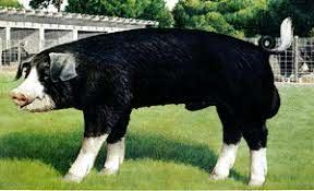 Breeds of Livestock - Poland China Swine — Breeds of Livestock, Department  of Animal Science
