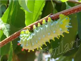 This is not a butterfly catterpillar but a huge moth catterpillar ...