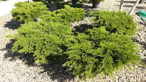 carpet carpet juniper