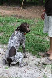 akc registered german shorthaired