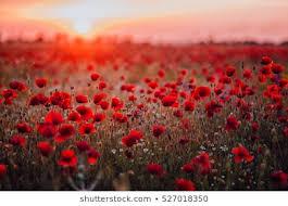 poppy images stock photos vectors