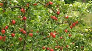 the best fruit trees for a small garden