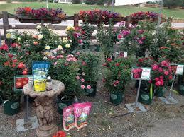 rose bushes creek side gardens