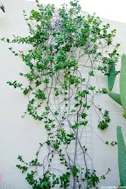 Pruning And Shaping The Star Jasmine Vine For Fall Joy Us Garden
