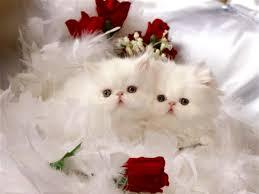 صور قطط بيضاء لكل عشاق القطط صورة قطة جميلة باللون الابيض اجمل