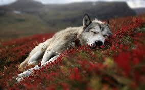 45 pictures of wolves for wallpaper