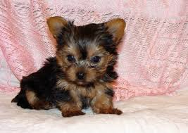 teacup yorkshire terrier tennessee
