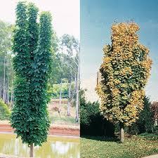 a very adaptable narrow growing tree