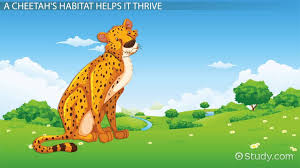 habitat of a cheetah lesson for kids