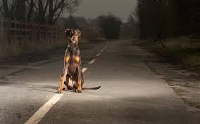 dogs roads doberman pinscher doberman