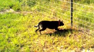 10 Dogs Shocked By Electric Fences Caught On Camera Sadly Compilation Youtube