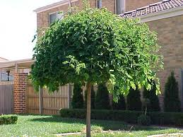mulberry weeping mulberry tree
