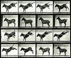"Eadweard Muybridge Photo, Motion Study, Donkey Kicking, 1880s, 17x11"" | eBay"