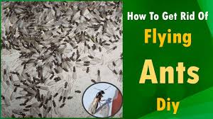 Get How To Get Rid Of Flying Ants Pics