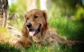 golden retriever dog wallpaper pictures