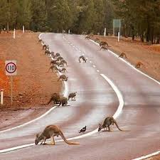 Australia Kangaroos come out to drink water on the road after heavy rain.  Central Flinders Ranges… | Western australia travel, Outback australia,  Australian animals