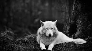 43 4k wolf