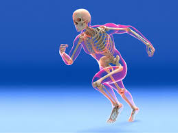 skeletal system function and ponents