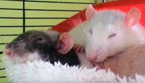 Es ist das erste mal, dass in deutschland ein tier den erreger nachweislich auf einen menschen übertragen hat. Blog Fancy Rats And The Seoul Virus Delta Optimist