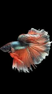 42 betta fish iphone wallpaper on