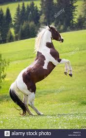 American Paint Horse. Stallion rearing on a pasture. Austria Stock ...