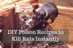 get rid of rats with homemade poison