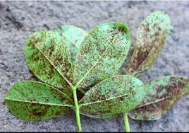 groundnut rust disease