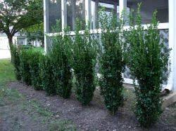 Green Tower Boxwood For Privacy Screen Will Grow 8 10 High By About 2 Wide Good For The North Fence Of B Green Tower Shrubs For Privacy Privacy Plants