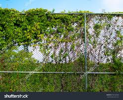Chain Link Fence Covered By Climbing Stock Photo Edit Now 701938366
