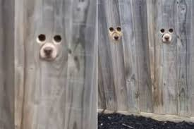 Pet Owner Makes Dog Sized Holes In Fence So Her Pets Can See Her When She Comes Home
