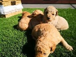 toy poodle puppies tiny pure breed