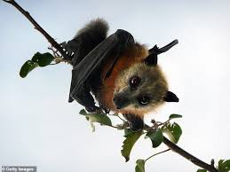 Bats force Queensland town Ingham to 'crisis point' as rescue chopper turn  away from hospitals | Daily Mail Online