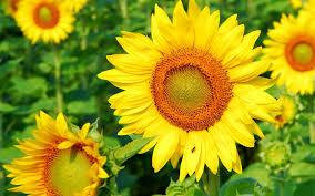 background wallpaper beautiful sun flower