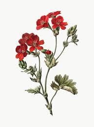 vine ilration of red flower
