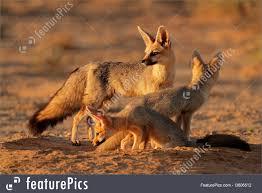 wildlife s cape fox family