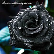 terbaru bunga mawar caption gambar bunga