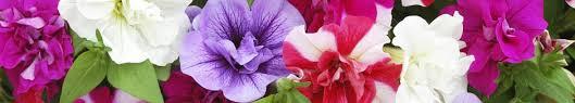 top 10 summer bedding plants thompson
