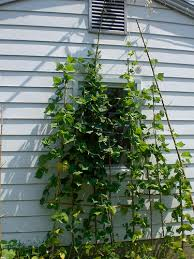 Using Your Fence For Growing Vertical Vegetables Finegardening