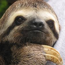 sloth wallpaper get a great sloth