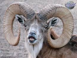 Уриал | Описания и фото животных | Некоммерческий учебно-познавательный  интернет-портал Зоогалактика