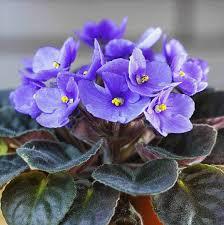 البنفسج الأفريقي African Violets نباتي