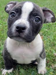 baby pitbull wallpapers top free baby