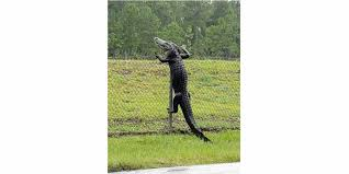 Huge Alligator Caught On Camera Climbing A Fence At Florida Navy Base Did That Just Really Happen