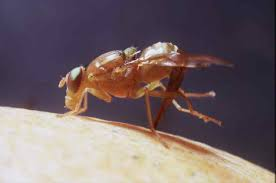 Fruit Fly Cooperative Control Program