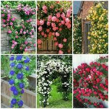 varieties climbing rose flower seeds