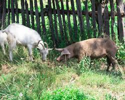 How To Raise Goats In Your Backyard Backyard Goats