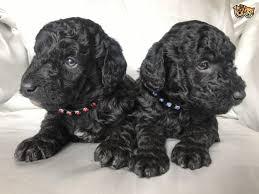 teacup poodles under 200 dollars for