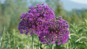 how to grow alliums ornamental